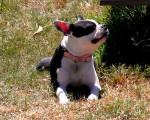 Kaloventhia - Terrier de Boston (4 ans)