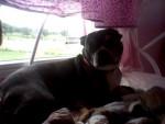 Scooby - Terrier de Boston Mâle (7 ans)