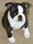 Bella - Terrier de Boston (1 an)