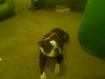 Bubba - Terrier de Boston Mâle (2 ans)
