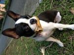 Mikaela - Terrier de Boston (1 an)