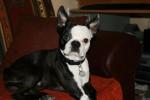 Chien Terrier de Boston - Terrier de Boston  (Vient de naître)