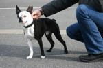 Terrier de Boston - Terrier de Boston