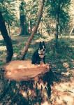 Chien Rio - Terrier de Boston Femelle (11 mois)