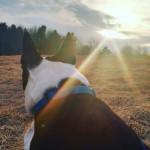 Chien Piper - Terrier de Boston Femelle (9 ans)