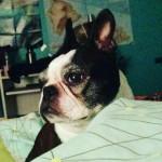 Chien Pipet - Terrier de Boston Femelle (8 ans)