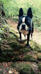 Rio - Terrier de Boston (1 an)