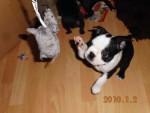 Chien Buddy - Terrier de Boston  (Vient de naître)