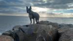 Chien Rio - Terrier de Boston Femelle (1 an)