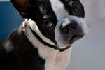 Photo Terrier de Boston