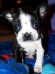 Alex - Terrier de Boston Mâle (1 mois)