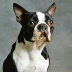 Buddy - Terrier de Boston Mâle (4 ans)