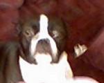 sable - Terrier de Boston (4 mois)