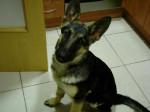 Chien Lobo presque 5 mois - Berger Allemand  (5 mois)