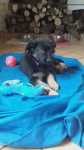 Chien Oly - Berger Allemand Femelle (2 mois)