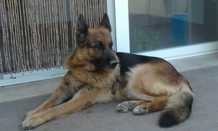 Yanco - Berger Allemand Mâle (5 ans)