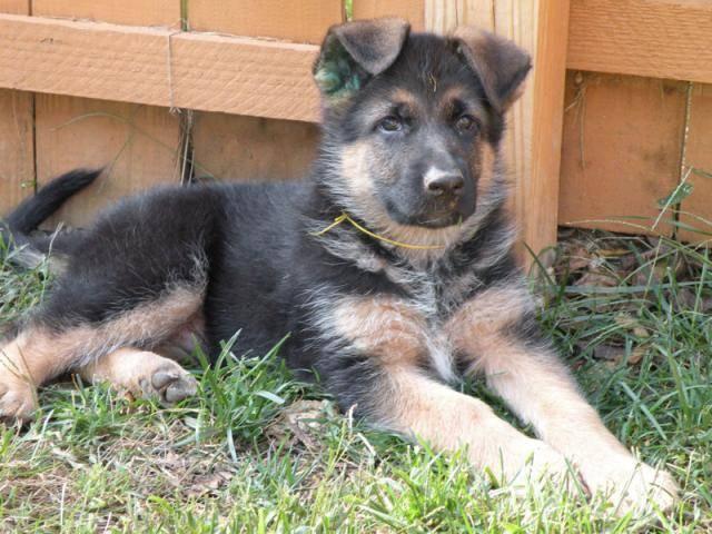 SPARKY,berger allemand(mon futur chien) - Berger Allemand