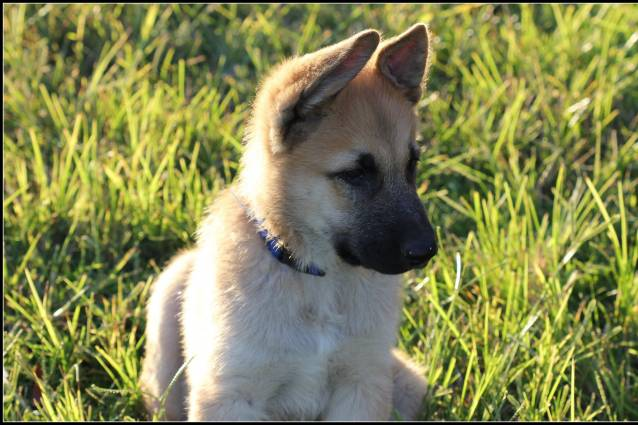 Chien  - Berger Allemand  (0 mois)