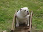 chubbs - Bulldog Anglais Mâle (1 an)