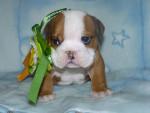 haribo bb - Bulldog Anglais Mâle (1 mois)