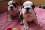 harley et son frere - Bulldog Anglais (1 mois)