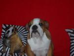 haribo - Bulldog Anglais Mâle (3 mois)