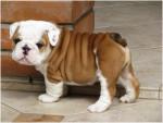 Shaggy - Bulldog Anglais Mâle (3 mois)