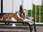 Helmut - Bouledogue Anglais Elevage Doreval - Bulldog Anglais