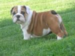 India - Bouledogue Anglais Elevage Doreval - Bulldog Anglais