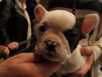 Chien Jeune chiot Bouledogue Anglais - Bulldog Anglais  (Vient de naître)