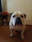 Chien Bulldog Anglais douze ans - Bulldog Anglais  (Vient de naître)