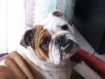 Tessy - Bulldog Anglais (11 ans)