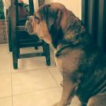Chien Bruno - Bulldog Anglais Mâle (2 ans)