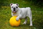Chien Le Bulldog Anglais - Bulldog Anglais  (Vient de naître)