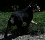 Godzilla - Bulldog Anglais exotique SHRINKABULLS - Bulldog Anglais Mâle (1 an et 2 mois)
