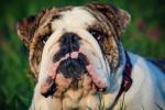 Photo Bulldog Anglais