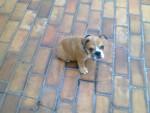 kalea - Bulldog Anglais (1 an)
