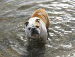 allie - Bulldog Anglais (6 ans)