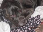 Cora - Bullmastiff (14 ans)