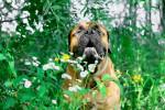 Photo Bullmastiff