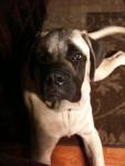 Sammy - Bullmastiff Mâle (2 ans)