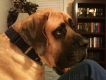 Maggie - Bullmastiff (5 ans)