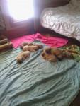 puppies - Bullmastiff (1 mois)