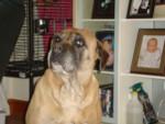cassie - Bullmastiff (9 ans)