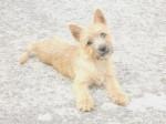 Chien Heavy femelle Cairn terrier 4 mois - Cairn Terrier  (4 mois)