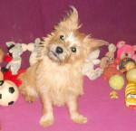 Heavy, Cairn terrier de 6 mois - Cairn Terrier (6 mois)
