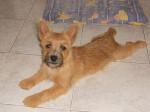 Heavy, Cairn terrier 6 mois - Cairn Terrier (6 mois)