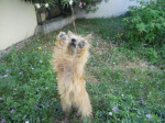 Chien Heavy, Cairn Terrier 1 an - Cairn Terrier  (Vient de naître)