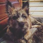 Chien Mac (de Dame Nature) - Cairn Terrier Mâle (5 mois)