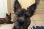 Malia (de Dame Nature) - Cairn Terrier (5 mois)